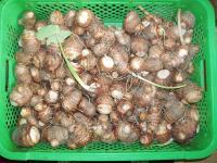 H221109今年のサトイモ