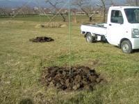 H221206モモ苗木植え付け準備