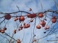 H230103樹上のほてい柿