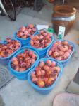 H230103柿酢つくり開始
