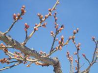 H230121咲きそうな小梅
