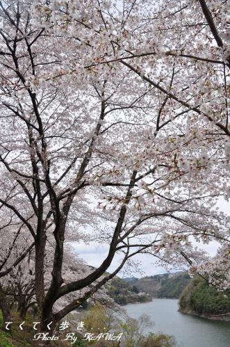 3肱川桜03.31