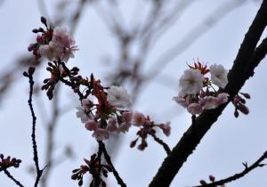 6薄墨桜_3474
