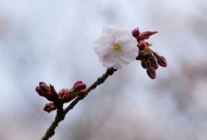 7薄墨桜_3478