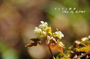 14サイゴクサバノオ_3720