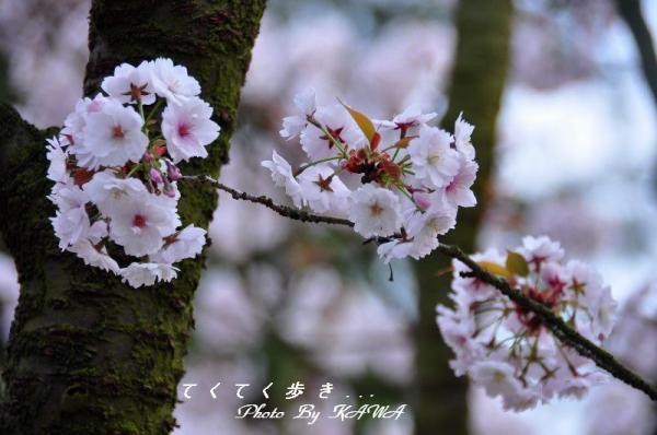 1薄墨桜_4136