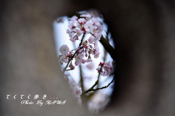 3薄墨桜_4132
