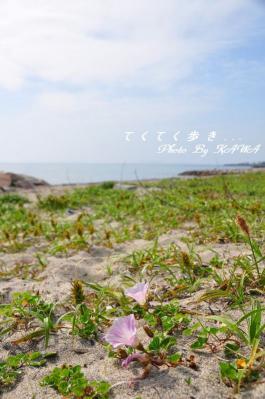 2ハマヒルガオ_6496