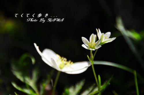 4ホソバノアマナ天狗の森10.05.15