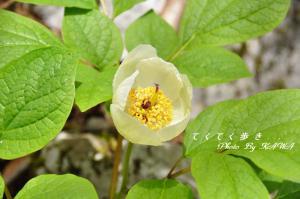 7ヤマシャクヤク天狗の森10.05.15