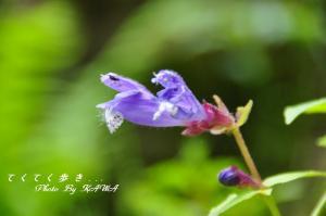 10ラショウモンカズラ_6948
