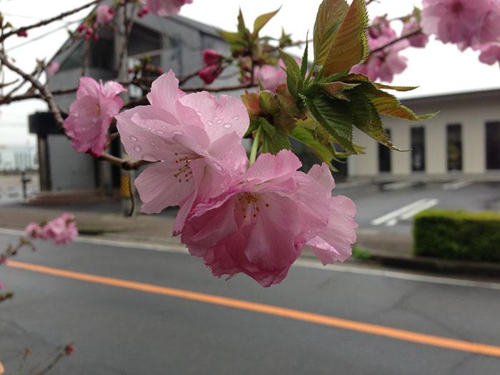 桜 さくら サクラ sakura 2013