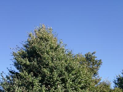 青空と銀杏の木