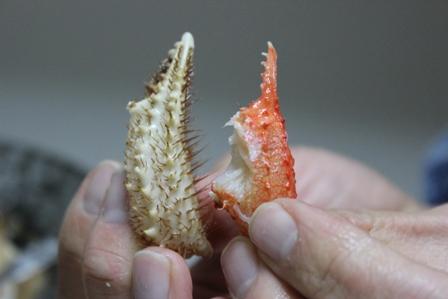 オホーツク毛蟹 (10)