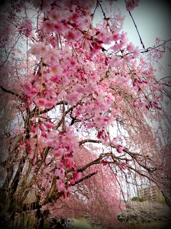 2013年の桜 (2)