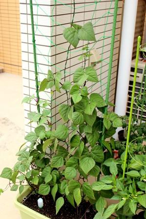 第4回デルモンテ野菜苗 (6)
