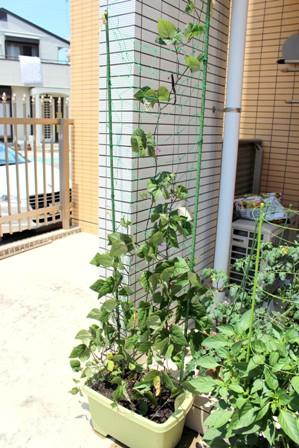 第5回デルモンテ野菜苗 (2)