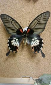 ナガサキアゲハ(有尾型♀)