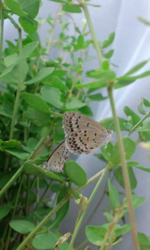 シルビアシジミ母蝶