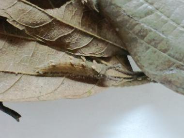 オオムラサキ越冬幼虫兵庫県産1