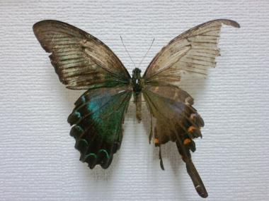 カラスアゲハ雌雄型
