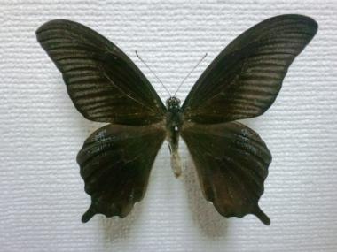 モンキアゲハ×ナガサキアゲハ雑種♂