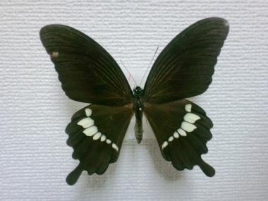 モンキアゲハ×シロオビアゲハ雑種♂