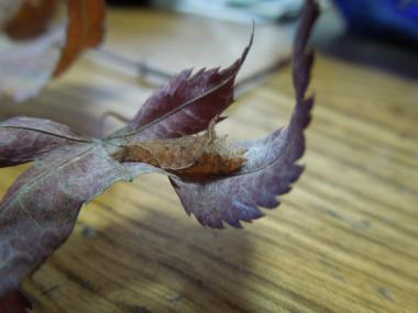 ミスジチョウ越冬幼虫1