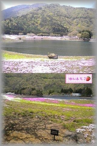 ちこちゃん日記★78★富士芝桜まつり★-3