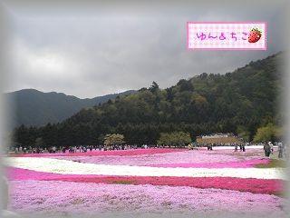 ちこちゃん日記★78★富士芝桜まつり★-7