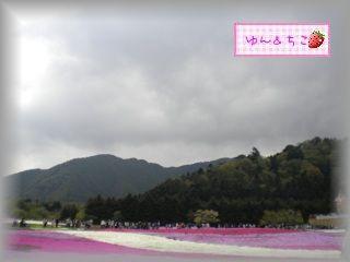 ちこちゃん日記★78★富士芝桜まつり★-8