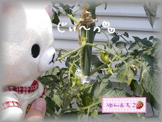 ちこちゃんの観察日記★4★トマトの実がたくさん♪-2