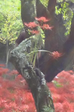 2012.10.8巾着田6