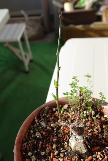 うめの木の芽