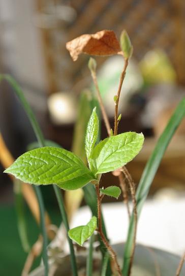 夏つばきの芽