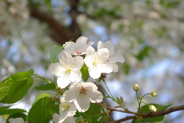 ふつうの桜の写真