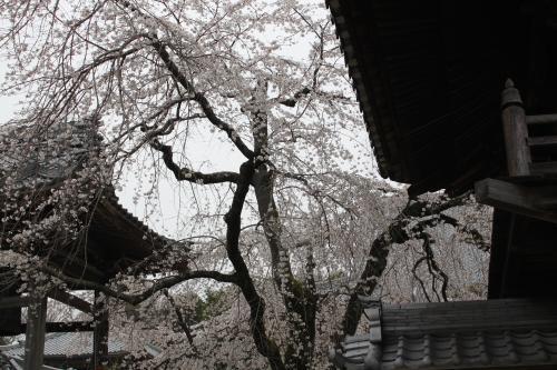 安長寺の桜