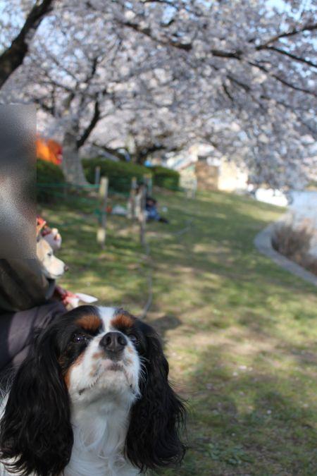 桜を愛でるゆず1