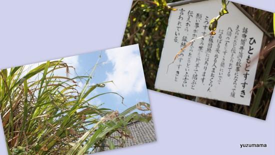 無量寿寺のカキツバタ5