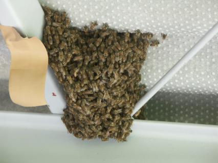 蜜蜂集まり