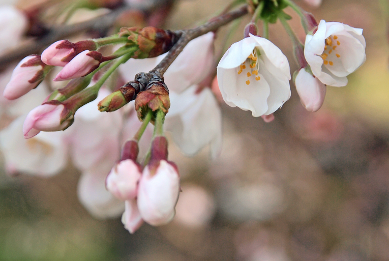 250330桜(京田辺)09