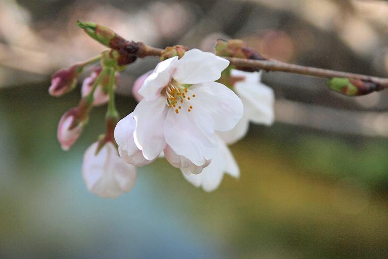 250330桜(京田辺)07