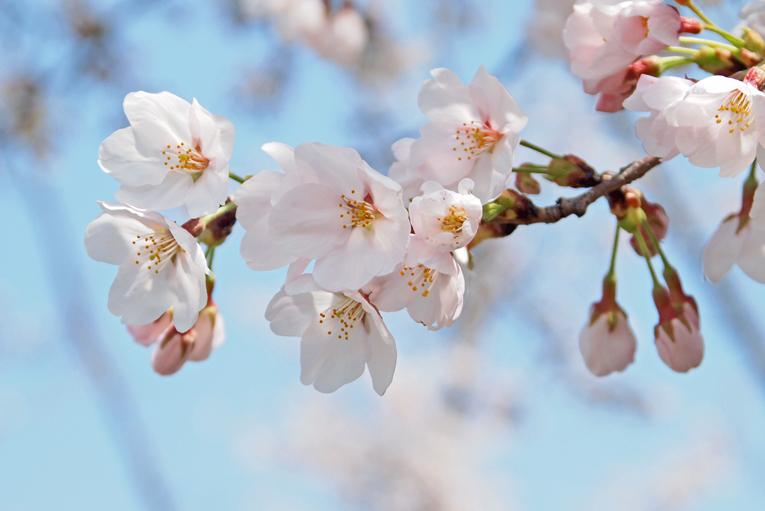 250330桜(京田辺)15