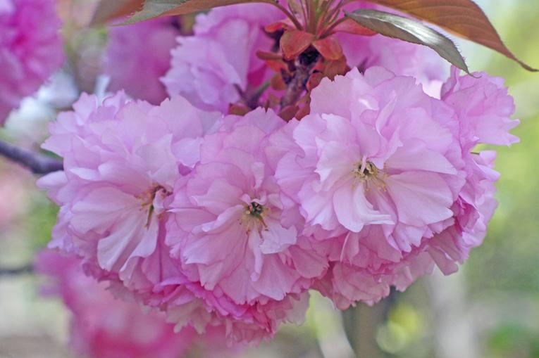 250416八重桜10