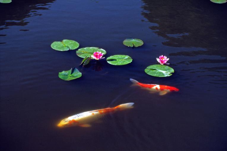 鯉とスイレン01