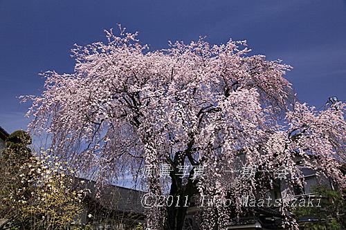 黄梅院の桜
