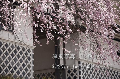 金鳳寺のしだれ桜