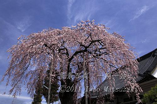 専照寺のしだれ桜
