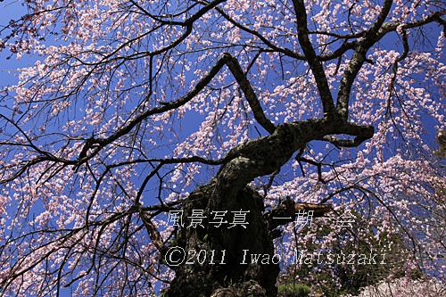 蔵澤寺の桜