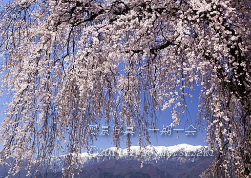 吉瀬のしだれ桜